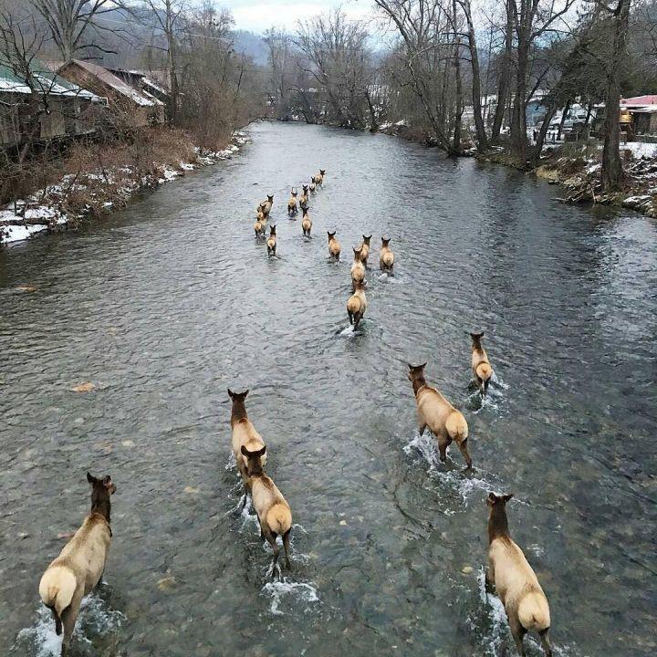Elk Sightings In Cherokee Tips For Glimpsing The Great